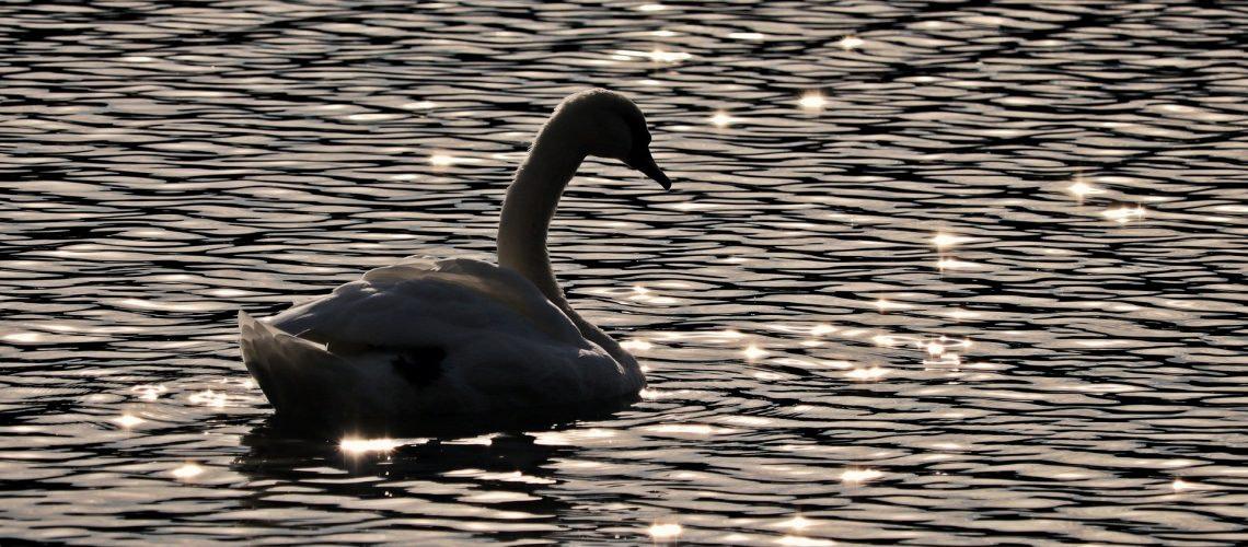 swan-3760519_1920